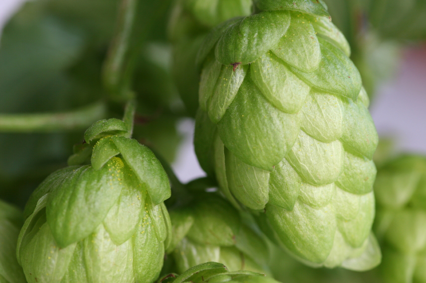 Hops for beer brewing